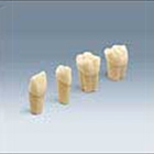 Frasaco Simulation Model Tooth for Restorative Procedures, Tooth #38