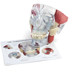 "GPI Anatomicals TMJ Demonstrator Model, Life-Size 6""W x 6-1/2""H x 6""D. One side"