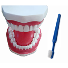 House Brand The Demonstration Model and Toothbrush. 3 x larger than life replicas that enable you