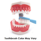 House Brand Giant Tooth Model with Toothbrush. Ideal for hygiene instructions. Size of the Model