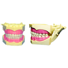 JSP Student Model with Removable Teeth, similar to model 860. Articulated hard gingiva dentoform