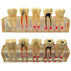 BesQual Study Models - BQ-M3. Transparent Teeth Model - Molar study model. Detachable