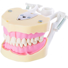 RMH3 Dental Jaw Study Model (28) - AG3 Compatible. Jaw Model with set of 28