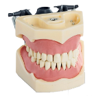 RMH3 Dental Jaw Study Model (32) - Columbia Compatible. Jaw Model with set